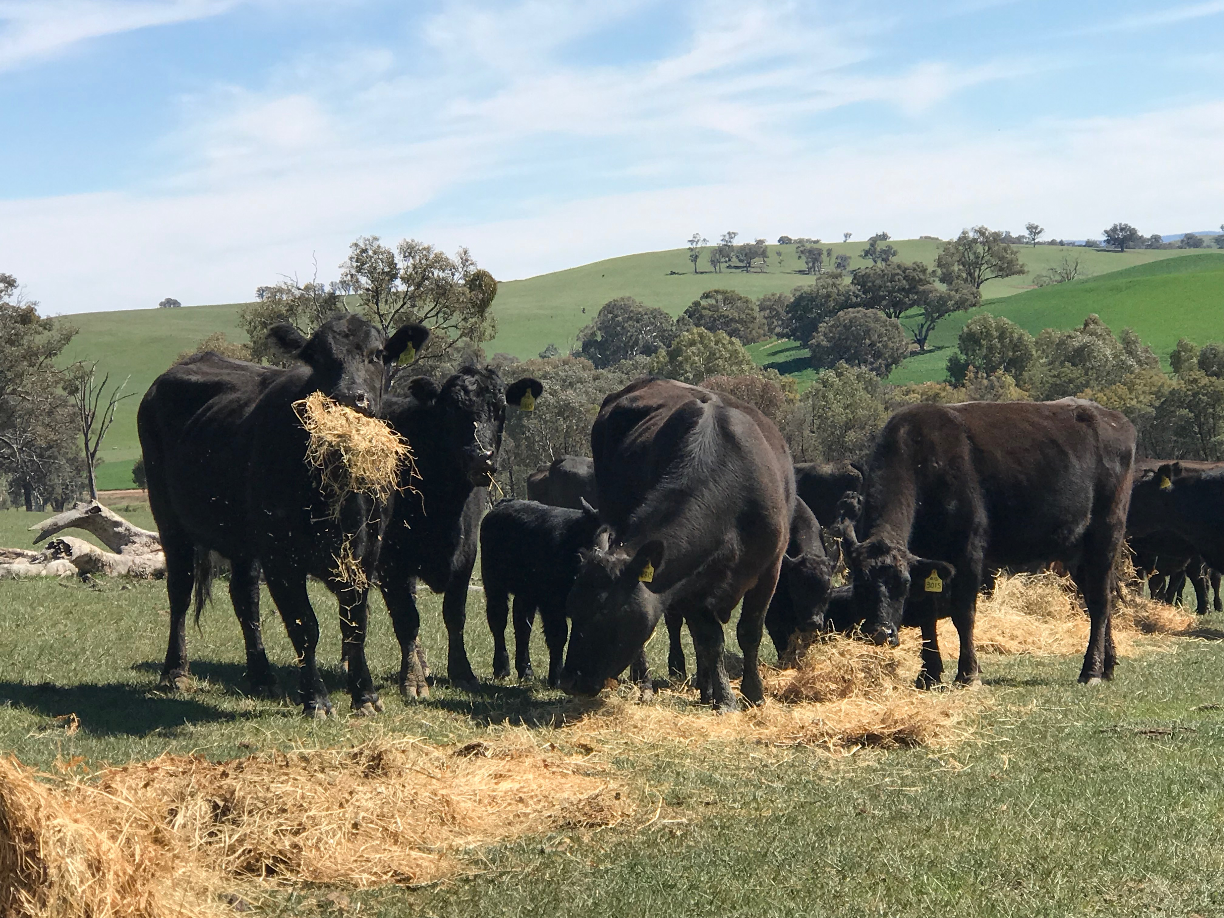 Peter Russell_Cattle feeding_SC