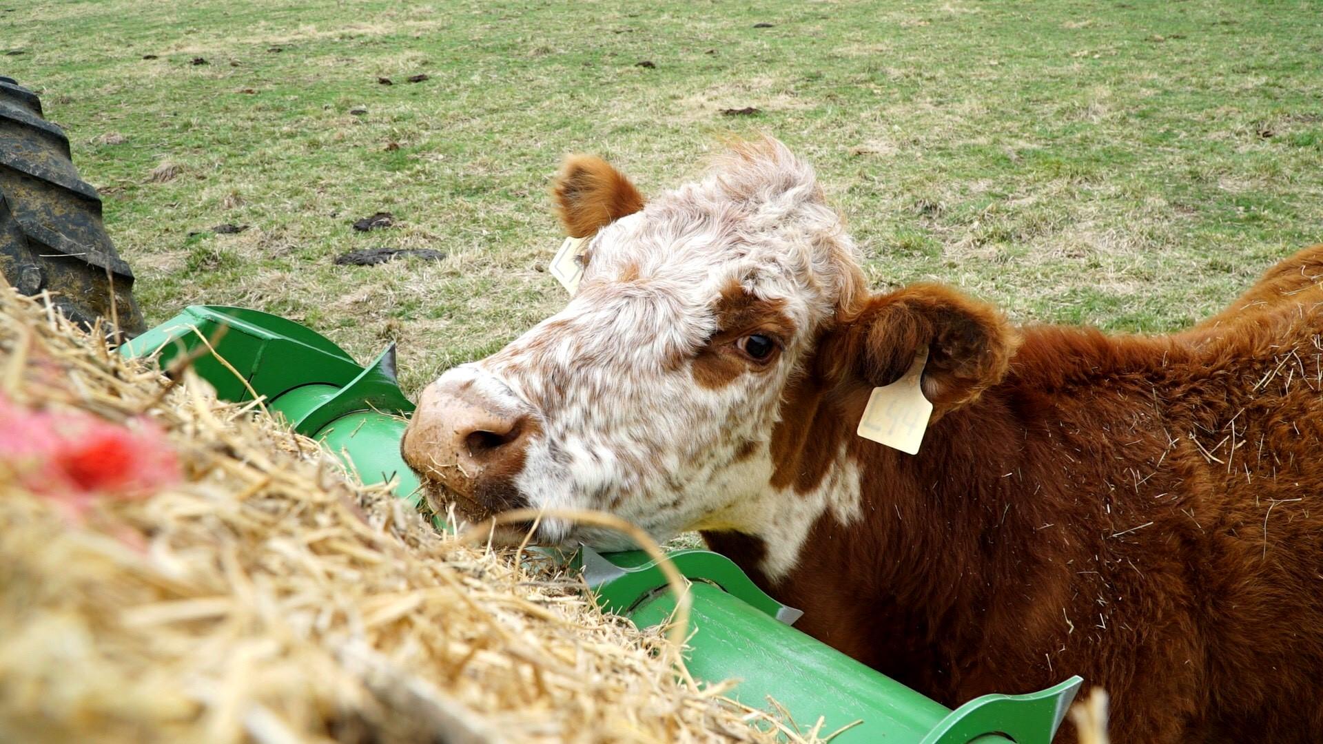 Cattle luv Hustler